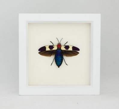 Framed Red Speckled Jewel Beetle (Chrysochroa buqueti rugicollis)