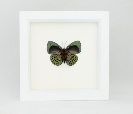 framed sage butterfly white frame
