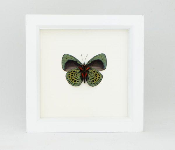 framed sage butterfly white frame
