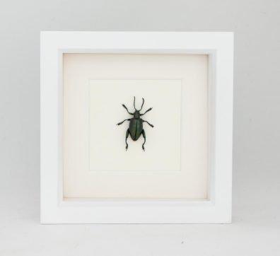Framed Jeweled Frog Beetle (Sagra species)