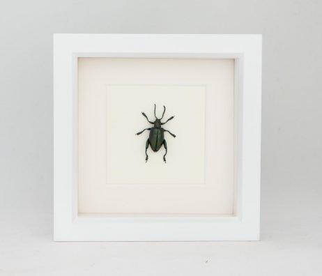 framed sagra species