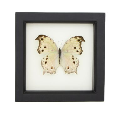 Framed Mother of Pearl Butterfly (Salamis parhassus)