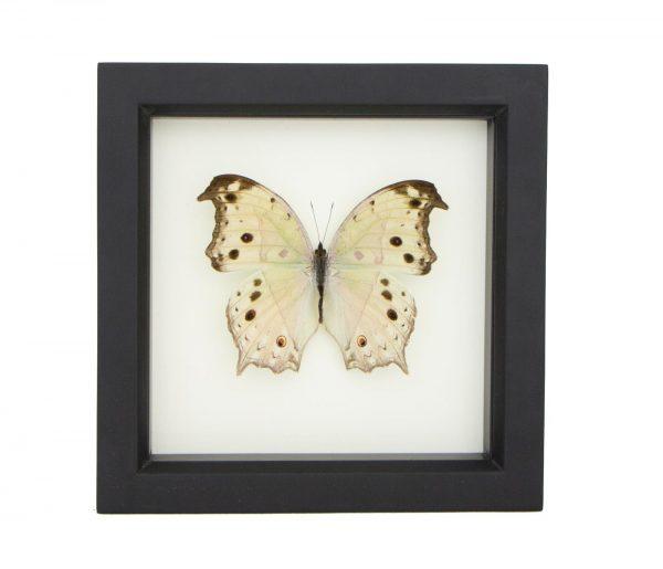 framed salamis parhassus