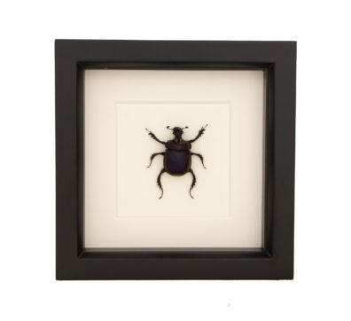 Framed Purple Scarab Dung Beetle (Enoplotrupes sharpi)