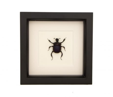 framed scarab beetle