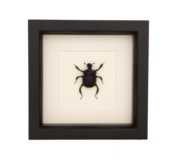 framed scarab beetle