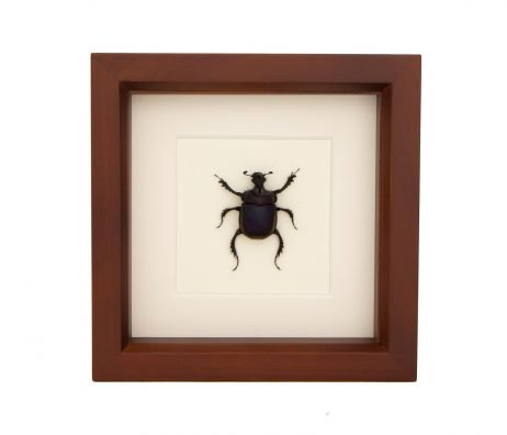 framed scarab beetle taxidermy