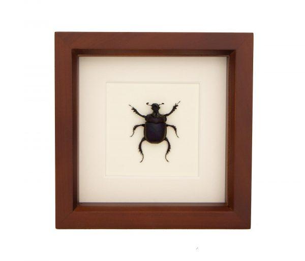 framed scarab beetle taxidermy