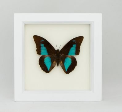 Framed Blue Shoemaker Butterfly (Prepona demophon)