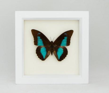framed shoemaker butterfly