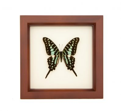 Framed Small Striped Swordtail Butterfly (Graphium policenes)