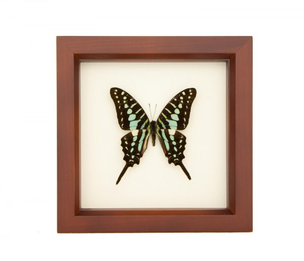 framed small striped swordtail