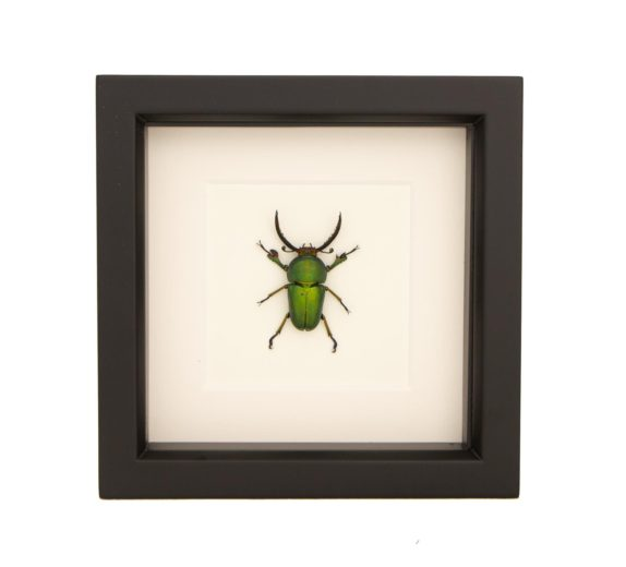 framed-stag-beetle