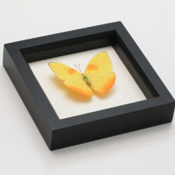 framed sulphur butterfly
