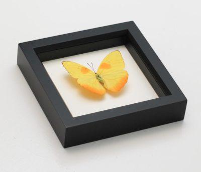 framed sulphur butterfly