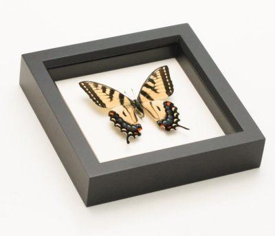 framed tiger swallowtail
