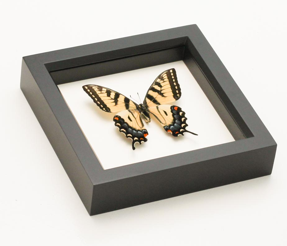 framed tiger swallowtail