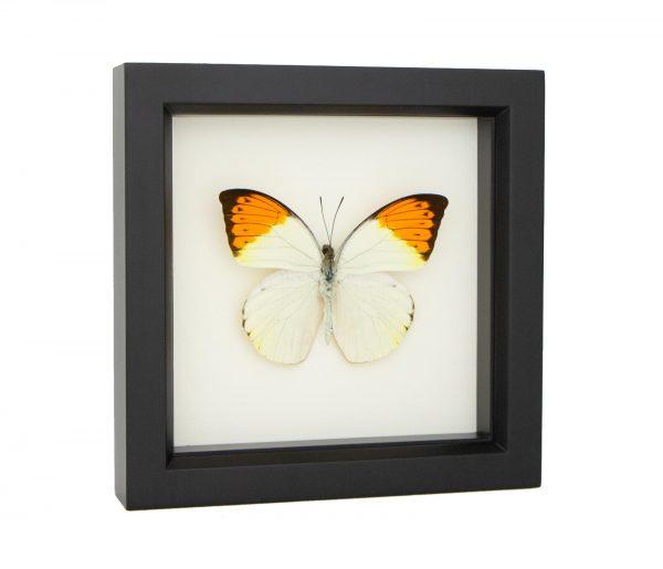great orange tip butterfly specimen