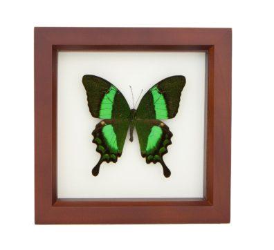 Framed Emerald Swallowtail (Papilio palinurus)