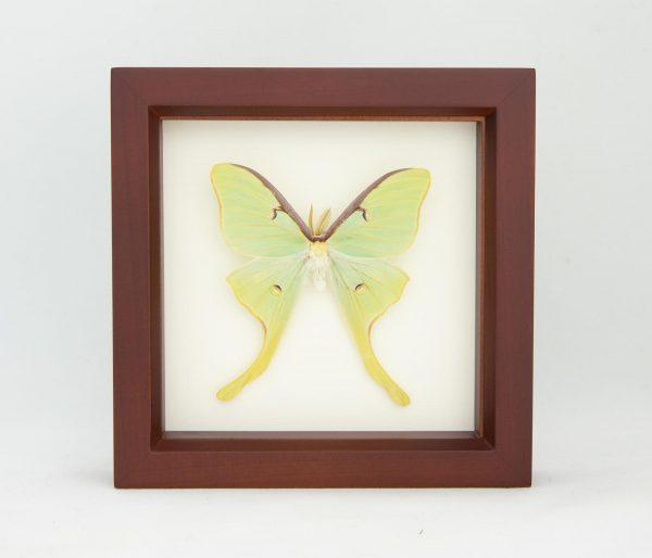 luna moth taxidermy