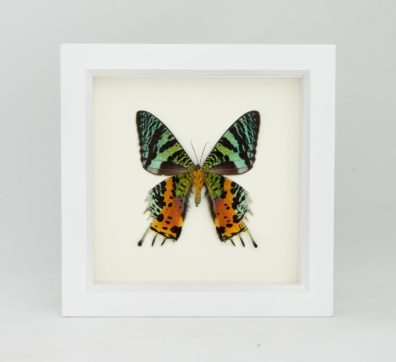 Framed Madagascan Sunset Moth verso (Chrysiridia rhipheus)