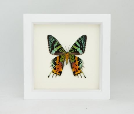 madagascan sunset moth display