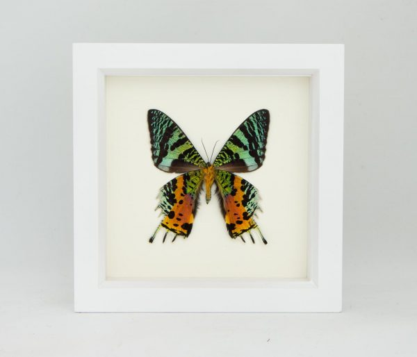 madagascan sunset moth display