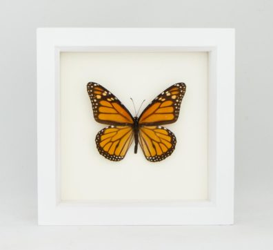 Framed Monarch Butterfly (Danaus plexippus)