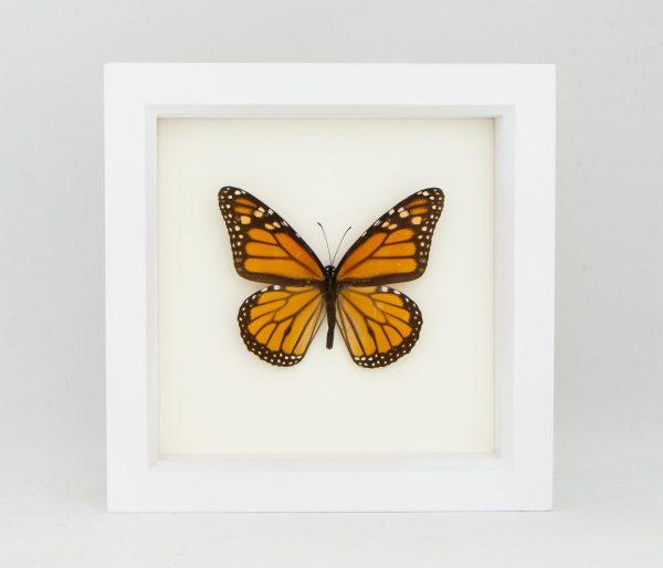 framed monarch butterfly white frame