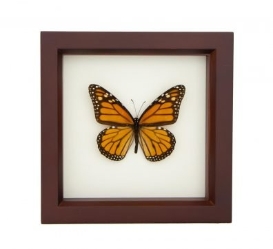 Framed Monarch Butterfly (Danaus plexippus)