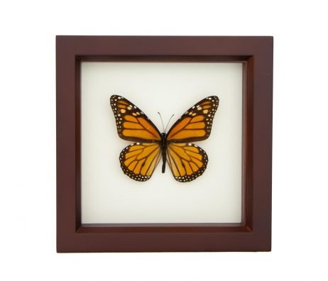 framed monarch butterfly walnut frame