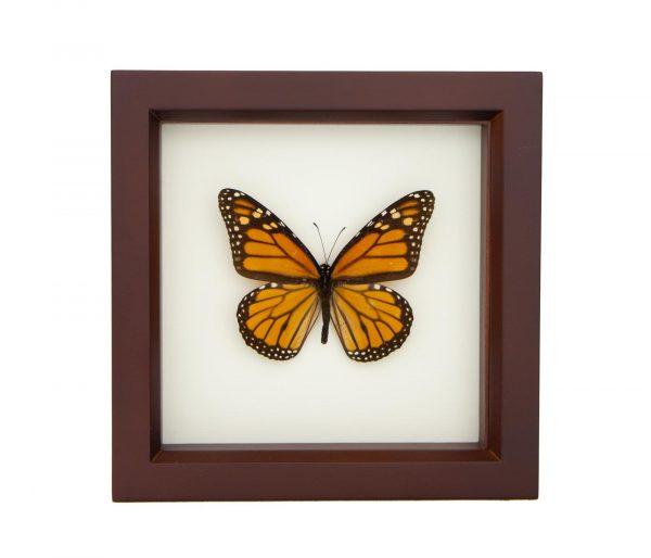 framed monarch butterfly walnut frame