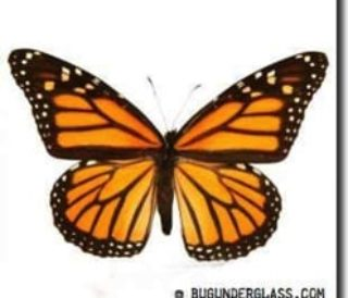 monarch_butterfly_300