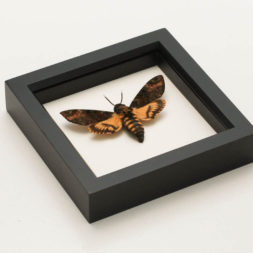 mounted death head moth