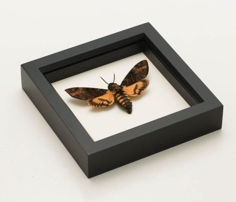 mounted death head moth