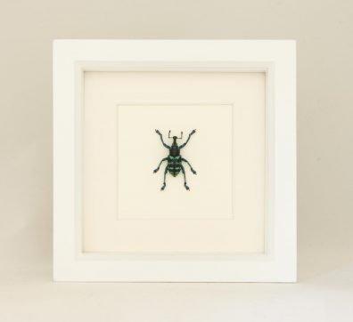 Framed Painted Weevil (Eupholus species)