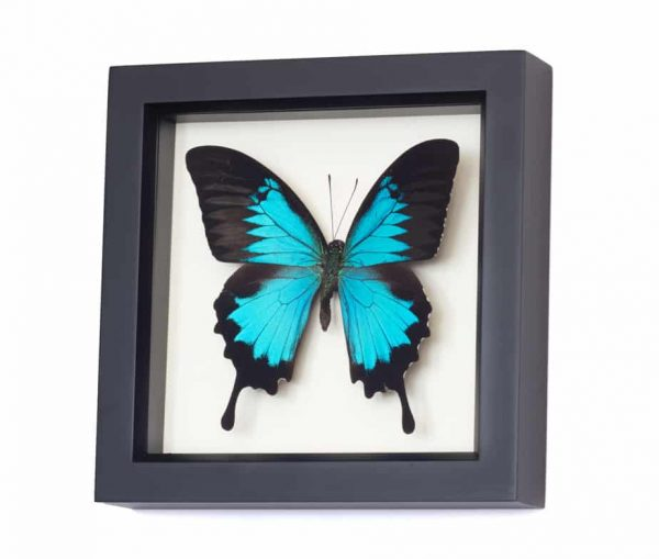 framed butterfly papilio ulysses