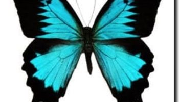 papilio-ulysses_marked
