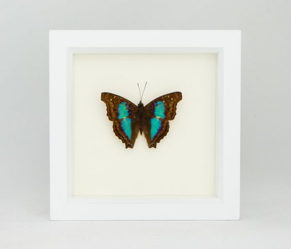 preserved TURQUOISE EMPEROR butterfly