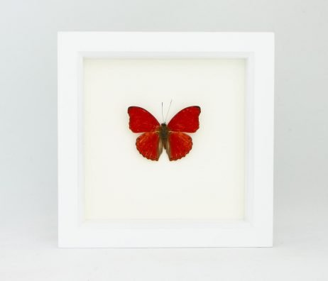 preserved sangria butterfly