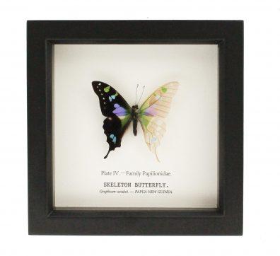 Graphium Weiskei: Half Skeleton Butterfly