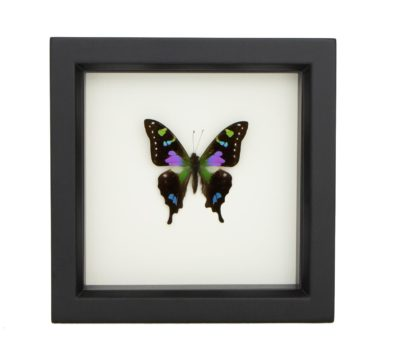 Framed Purple Mountain Swallowtail (Graphium weiskei)