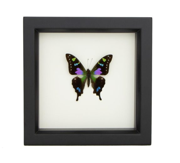 Framed Purple Mountain Butterfly