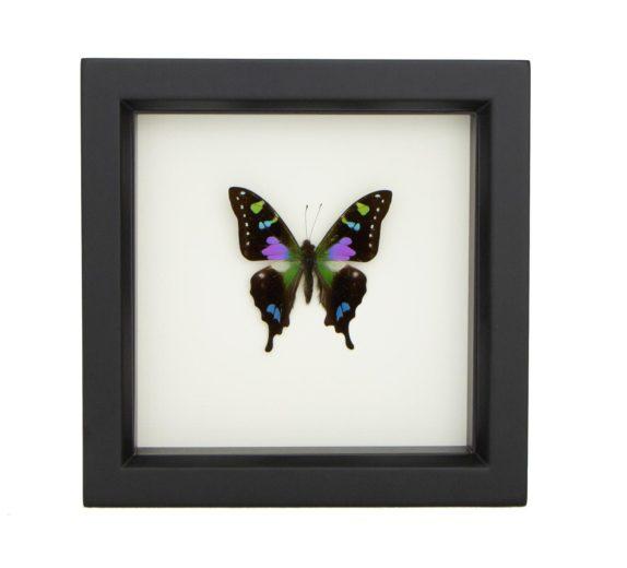 Framed Purple Mountain Butterfly