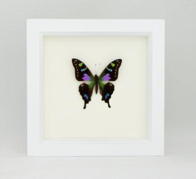 Framed Purple Mountain Swallowtail (Graphium weiskei)
