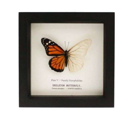 monarch butterfly skeleton