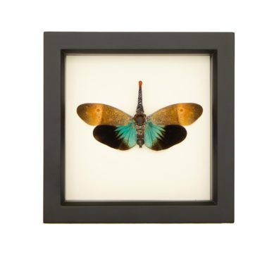 real framed lanternfly display