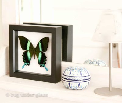 real framed peacock swallowtail