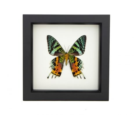 real-framed sunset moth display