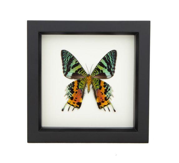 real-framed sunset moth display